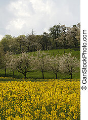 Cherry trees with rape field, Germany - Cherry trees with...