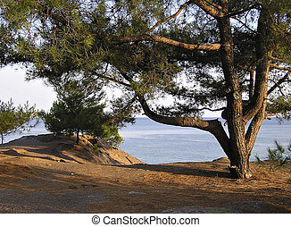 Pine At Seaside