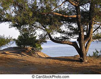 Pine At Seaside