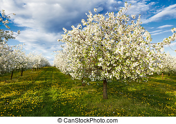 Cherry blooming orchard with dandelions in spring