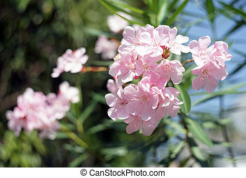 Oleander, Rose bay flower with leave. (Nerium oleander L.)