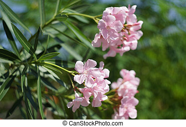 Oleander, Rose bay flower with leave Nerium oleander L