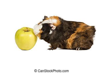 Guinea pig eating an apple - Guinea pig went to the green...