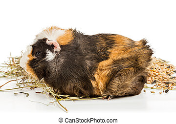 Guinea pig eating hay - Portrait of a guinea pig that eats...