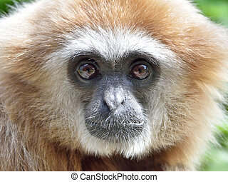 Lar Gibbon Hylobates lar - Closeup portrait of the Lar...