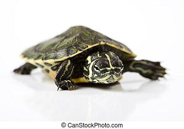 Slow turtle, egzotic natural tone concept