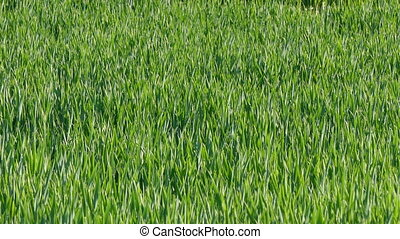 Wheat field, plant in early spring - Wheat moving in the...