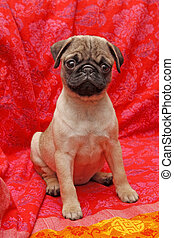 Young 10 weeks old female pug.