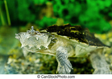 freshwater exotic turtles Matamata - Image of freshwater...