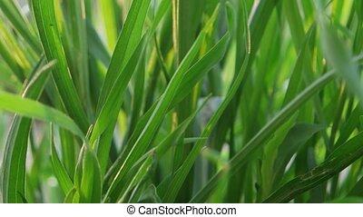 green grass macro close up backlit - Backlit green grass...