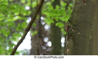 squirrel - Sciurus