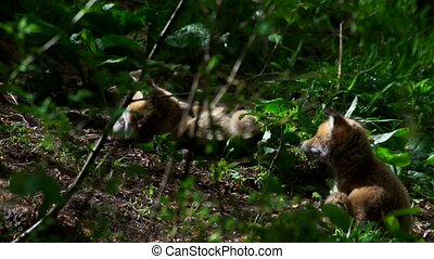 young fox puppies in the forest