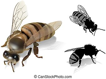 Honeybee - Apis melifea Colored Illustration, Vector