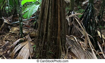 Verschaffeltia splendida in Vallee de Mai Nature Reserve in...
