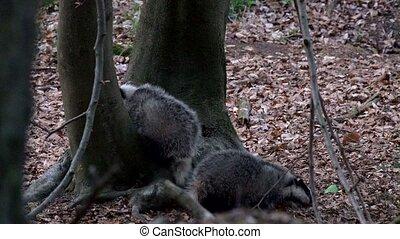 badger - Meles meles