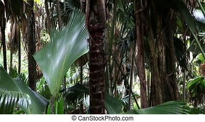 Double nut of Coco de mer Vallée de Mai Nature Reserve in...