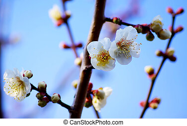 Spring Blossom Apricot Flowers