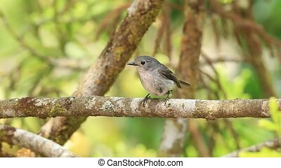 Little Pied Flycatcher Ficedula westermanni in MtKinabalu,...