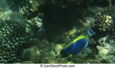 Powder blue - ACANTHURUS LEUCOSTERNON, Powder blue. Indian...