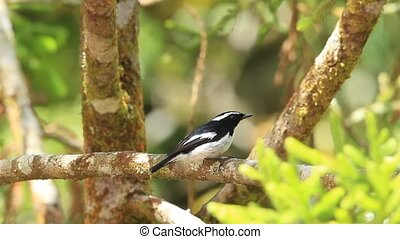 Little Pied Flycatcher (Ficedula westermanni) in...