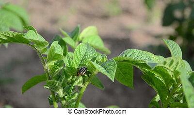 colorado beetle hand