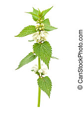 blossoming nettle - Fresh green blossoming nettle isolated...