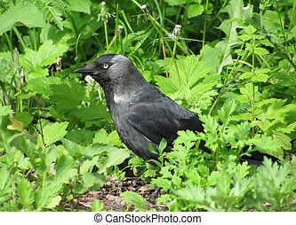 Jackdaw in a grass - Jackdaw hiding in a grass