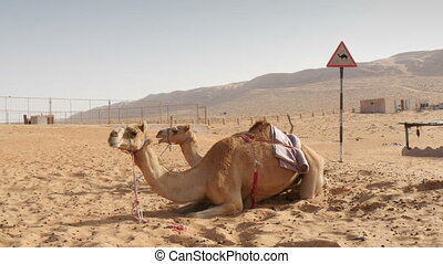 camels lying in desert with camel warning sign in background