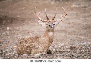 male eld deer