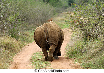 Bull, White Rhinoceros, Square-lipped Rhinoceros,...