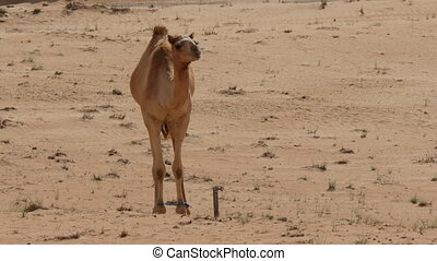camel with bound feet jumping in the sand -