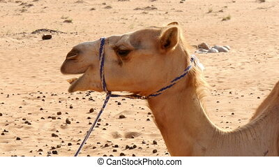 camel chewing closeup
