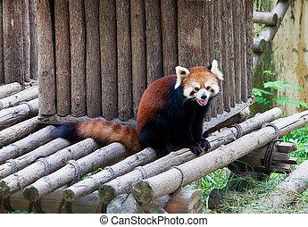 Raccoon in a zoo in Wuxi, Jiangsu province, China - Red...