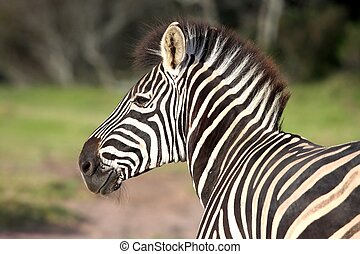 Zebra Portrait - Portrait of a smiling plains zebra with...