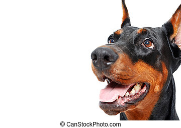 Close up of doberman pinscher with opened mouth - Give me...