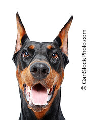 Close up of doberman pinscher with opened mouth - Playful...