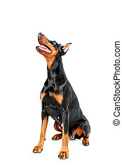Sitting doberman pinscher on white isolated background
