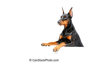 Dobermann pinscher peering out - Waiting for you. Portrait...