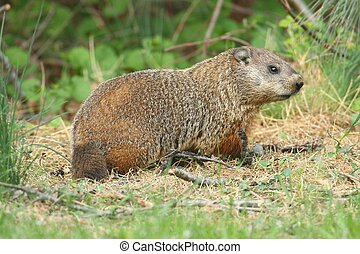 Groundhog (Marmota monax) also known as a Woodchuck in a...