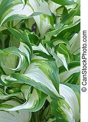 Fresh spring leaves of hostas plant in the garden