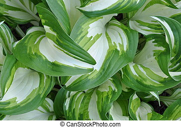 Fresh spring leaves of hostas plant in the garden