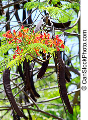 Flamboyant branch with flowers and pods - Flame Tree Delonix...