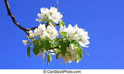 Branch of the blossoming pear tree against the blue sky