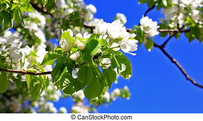 Pear tree branch with flowers against the blue sky