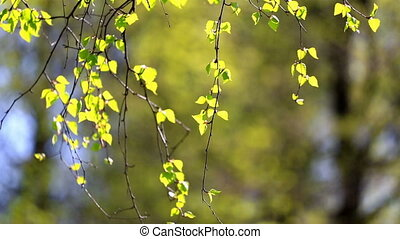 Birch branches with green leaves lit with a bright sun