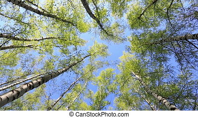 Birches in sunny spring day, the bottom view, zoom out
