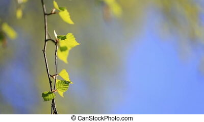 Birch branch with young green leaves