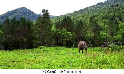 bay horse is grazed on a meadow against mountains