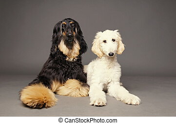 Cute afghan hound with puppy - Afghan hound with puppy of...