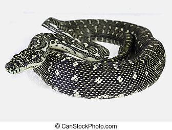 diamond python - a diamond python, coiled on a white...